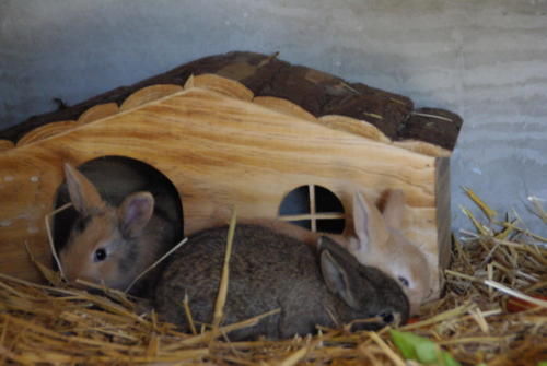 lapins bb maison