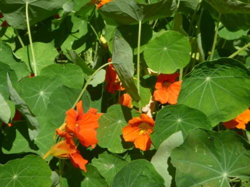 fleurs capucines